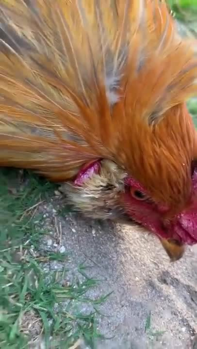 Rooster gets hypnotized.. .. Birds are actually so old that they were invented during a time where the government didn't consider cyber security a major issue so all of their shutdown proto
