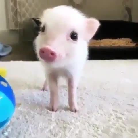 military smart Dove. ..  Cute bacon.