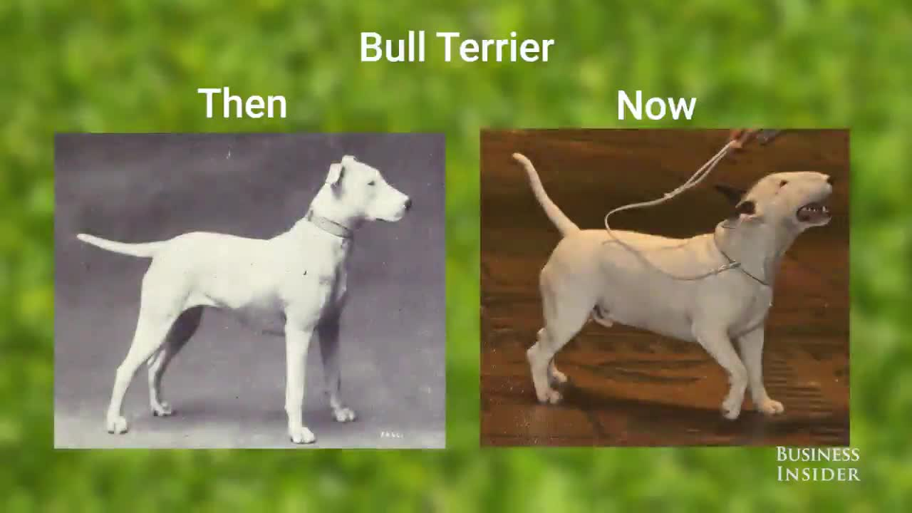 dogs then and now. join list: Learning (1080 subs)Mention History. Bull Terrier Then BUSINESS INSIDER. god bless the back breeders out there. These pour dogs do not deserve these problems.